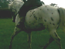 Appaloosa X Tb For Sale