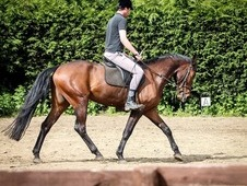 Alfie 6 year old Scottish warm blood gelding