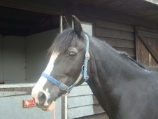 Cobs horse - 16 yrs 2 mths 14.2 hh Blue & White - Essex