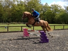 All Rounder horse - 8 yrs 16.1 hh Chestnut - Surrey