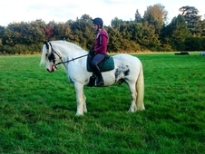 15hh Happy Hacking Family Cob - Chunky Piebald Traditional With A...