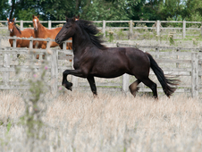 Fps registered friesian mare for sale