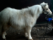 GORGEOUS registered Shetland foal, unusual cream and white.