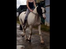 16. 3 Irish Hunter Cob