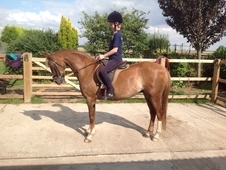 Super Smart Well Bred Dressage Pony
