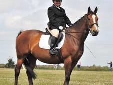 15. 3 hh Hanovarian x TB mare For Sale