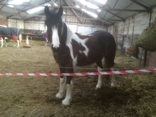 Handsome Coloured Gelding Just 3 Years