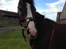 Eventers horse - 7 yrs 5 mths 16.2 hh Dark Bay - Northumberland