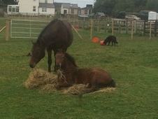 Reduced 15. 2 Mare And Filly Foal