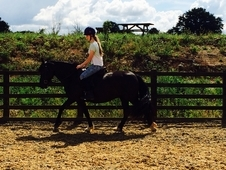 Talented 8 Yr Old 14. 2 Welsh X Andalusian Mare