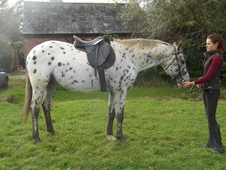 Striking Appaloosa Gelding