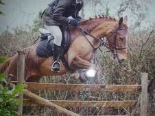 Teenagers dream! 13. 1 chestnut pretty mare 8yrs excels in everyt...