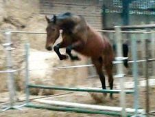 Sports Horse - 16. 1 Hh Bay - West Midlands