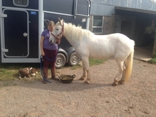 14. 2hh 6yr Old Moorland Mare