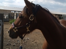 Outstanding Quarter Horse Filly For Sale