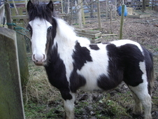 Yearling cob colt