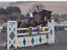Stunning Dark Bay Mare 16. 1 Hands