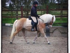All Rounder horse - 11 yrs 14.1 hh Palomino - West Midlands