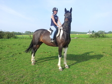 Stunning 16hh 9 Years Old Skewbald Mare