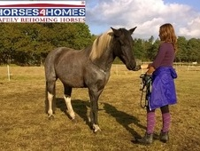 Shika, 14. 3h, New Forest X Warmblood, 9 Years, Mare - Dorset