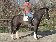 Beautiful Moving, 15. 1hh, 6yr old Mare