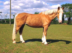 ** PERFECT PALOMINO ALL ROUNDER **