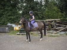 Pretty Welsh Section B Mare 13. 1hh