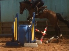 Show Jumpers horse - 6 yrs 4 mths 16.0 hh Bright Bay - Cumbria
