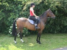 All Rounder horse - 9 yrs 15.2 hh Bay - Cleveland