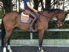 All Rounder horse - 15 yrs 11 mths 16.3 hh Bay - Berkshire