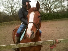 All Rounder horse - 5 yrs 11 mths 16.0 hh Chestnut - County Durham