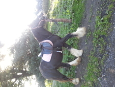 2 Year Old Cob Filly