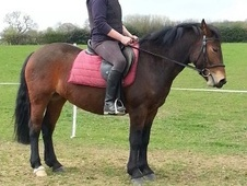 All Rounder horse - 3 yrs 11 mths 13.3 hh Bay - Derbyshire