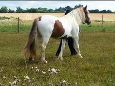 Beautiful Coloured cob x