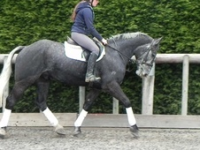 All Rounder horse - 6 yrs 4 mths 15.2 hh Iron Grey - West Sussex
