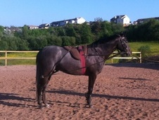 Showing horse - 5 yrs 1 mth 15.0 hh Grey - Lancashire
