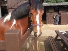 Stunning Well Marked Skewbald Gelding
