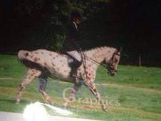 15. 2hh Allrounder Confidence Giver Based In Kent