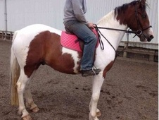 15hh Coloured Gelding