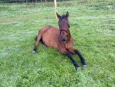 Young Stock  horse - 3 yrs 15.0 hh Bay - West Sussex