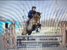 All Rounder horse - 8 yrs 16.1 hh Bay - North Yorkshire