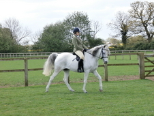 Exceptional Show/dressage Arab For Sale