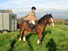 Gorgeous 15. 3hh, Shire X, 8 Yr Old Gelding