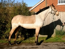 ​Amazing 15. 2hh PC/BE/BS 1st Horse, the perfect horse!