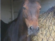 All Rounder horse - 12 yrs 13.2 hh Dark Bay - London