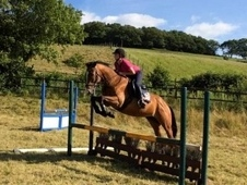 Millie, 16. 1hh, 11year old, tb mare