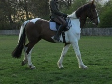 All Rounder horse - 7 yrs 16.2 hh Skewbald - Surrey