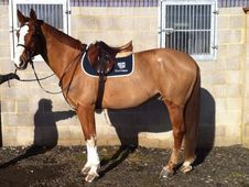 All Rounder horse - 5 yrs 16.2 hh  - Sussex