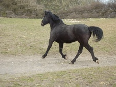 Young Stock  horse - 4 yrs 16.0 hh Dark Bay - County Durham