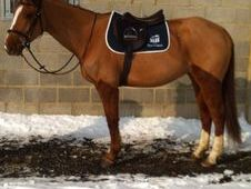 All Rounder horse - 7 yrs 16.0 hh  - Surrey